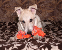Red puppy nibbles orange toy on couch Royalty Free Stock Photo