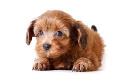 Red puppy of the Petersburg orchid royalty free stock photos