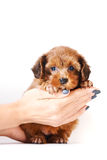 Red puppy of the Petersburg orchid. On hands on a white background Stock Image