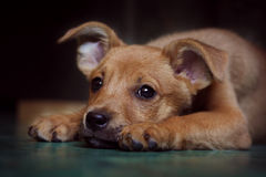 Red puppy pooch at the shelter. Put her head on the floor and looks sad eyes Stock Photography