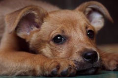 Red puppy pooch at the shelter. Put her head on the floor and looks sad eyes Royalty Free Stock Photo