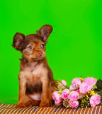 Red puppy sitting with a bouquet of pink roses on a green background. Beautiful little dog. Royalty Free Stock Photos