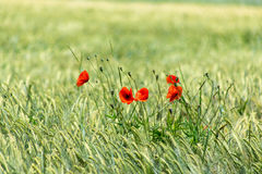 Red puppy in wheat field royalty free stock image