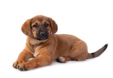 Red puppy on white background Stock Photo