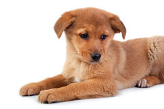 The red puppy on white background Stock Image