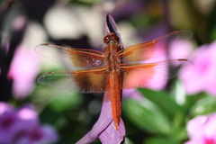 Red On Purple. Red Skimmer Dragonfly on Purple plant with pink flowers in the background Royalty Free Stock Photos