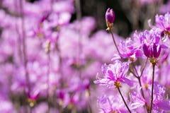 Red purple azalea blossoms Stock Photos