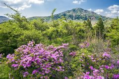 Red purple azalea flowers. Rhododendron kiusianum in front of Mount Eboshidake under sky in Aso, Kumamoto Royalty Free Stock Photo