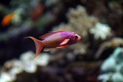 Red and purple coral fish Stock Images