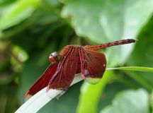 Red Purple dragonfly Royalty Free Stock Image
