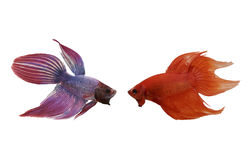 Red and purple Fighting Fish species Thailand. Stock Photo