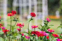 Red purple flower background. Stunning red purple flower in the middle of garden and sun bright with blurred playground behind Royalty Free Stock Image