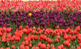 Red and Purple Flower Field stock photos