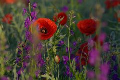 Red and purple flowers Royalty Free Stock Image