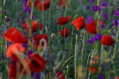 Red and purple flowers Royalty Free Stock Images