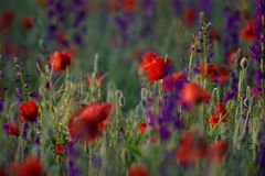 Red and purple flowers Stock Image
