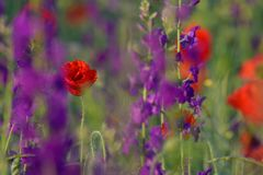 Red and purple flowers Royalty Free Stock Photos