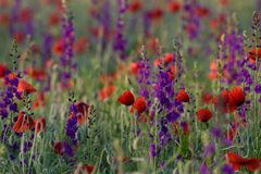 Red and purple flowers Stock Photography