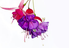 Red and Purple Fuchsia. Close-up of a red and purple fuchsia on a White background Stock Photo