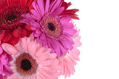 Red purple Gerbera flowers Stock Photos