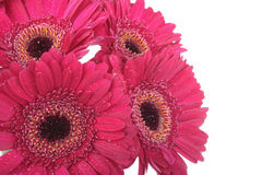 Red purple Gerbera flowers on white Royalty Free Stock Photo