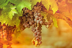 Red - purple grapes Royalty Free Stock Image