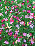 Red and purple maple leaves on green grass Royalty Free Stock Image