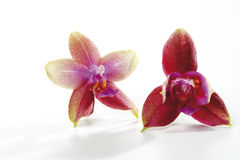 Red, purple orchid flowers Stock Photos
