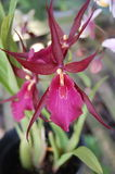 Red purple orchid from indonesia Royalty Free Stock Image
