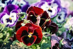Red and purple pansies, springtime, beauty filter. Red and purple pansies in the garden. Beauty in nature. Seasonal natural scene. Beauty photo filter Stock Photo