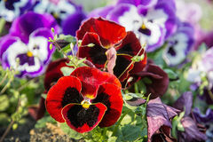 Red and purple pansies, springtime. Red and purple pansies in the garden. Beauty in nature. Seasonal natural scene Royalty Free Stock Photo
