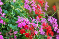 Red and purple Pelargonium flowers - Pelargonium hortorum - in t Royalty Free Stock Image
