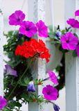 Red And Purple Petaled Flowers royalty free stock image