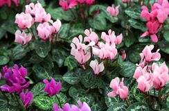 Red purple and pink cyclamen Stock Photography