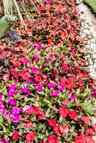 Red Purple and Pink Pansies Stock Image