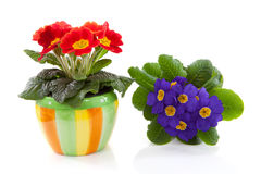 Red and purple primula flower in colorful pot Stock Photos