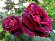 Red purple roses in garden Stock Images