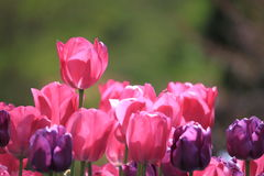 Free Red Purple Tulip Stock Images - 30975784