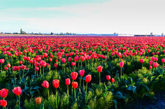 Red Purple Tulip Field Royalty Free Stock Images