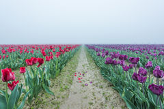 Red and purple tulip field rows with fallen petals Royalty Free Stock Photography
