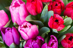Red and purple  tulip flowers. Fresh red, pink  and purple tulip flowers  close up Royalty Free Stock Image