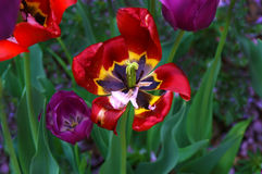 Red and Purple Tulips Stock Images