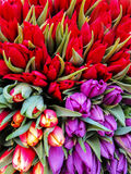 Red and purple tulips Royalty Free Stock Photos