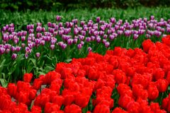 Red and purple tulips close up in Holland , spring time flowers in Keukenhof. Beauty royalty free stock images