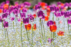 Red And Purple Tulips Royalty Free Stock Photography