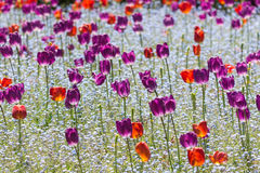 Red And Purple Tulips Royalty Free Stock Images
