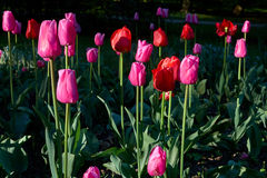 Red and purple tulips and sunrise. Red and purple tulips with green leafs in a park Royalty Free Stock Photography