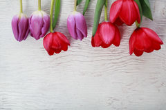 Red and purple tulips Stock Photography