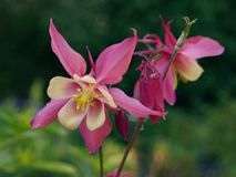 Red/Purple and Yellow Aquilegia Flowers royalty free stock photo