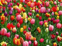 Red Purple and Yellow Tulip Fields Stock Photography